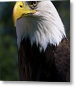 Bald Eagle Metal Print by JT Lewis