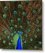 Beautiful Peacock Metal Print by Larry Marshall