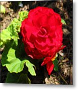 Begonia Flower - Red Metal Print by Corey Ford