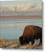 Bison In Front Of Snowy Mountains Metal Print by Mathew Levine