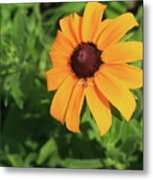 Black Eyed Susan 2 Metal Print by Marjorie Imbeau