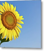 Blooming Sunflower In The Blue Sky Background Metal Print by Tosporn Preede