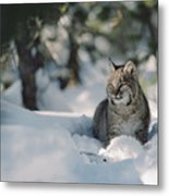 Bobcat Lynx Rufus Adult Resting In Snow Metal Print by Michael Quinton