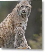 Bobcat Mother And Kitten North America Metal Print by Tim Fitzharris