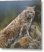 Bobcat Mother And Kittens North America Metal Print by Tim Fitzharris