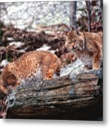 Bobcats On The Loose Metal Print by Brad Hoyt