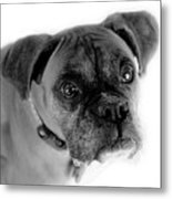 Boxer Dog Metal Print by Marilyn Hunt