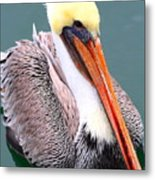 Brown Pelican . 7d8291 Metal Print by Wingsdomain Art and Photography