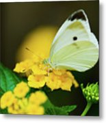 Cabbage White Butterfly Metal Print by Betty LaRue