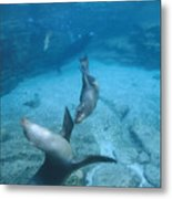 California Sea Lions At Play,  Zalophus Metal Print by James Forte