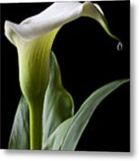 Calla Lily With Drip Metal Print by Garry Gay