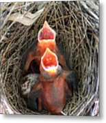 Cavernous Cardinals Metal Print by Al Powell Photography USA