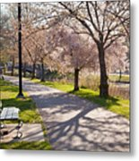 Charles River Cherry Trees Metal Print by Susan Cole Kelly