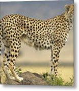 Cheetah Acinonyx Jubatus On Termite Metal Print by Winfried Wisniewski