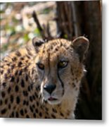 Cheetah Gazing Metal Print by Douglas Barnett