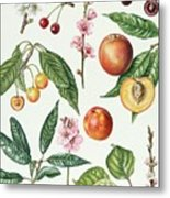 Cherries And Other Fruit-bearing Trees  Metal Print by Elizabeth Rice