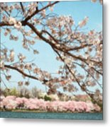 Cherry Blossoms Along The Tidal Basin Five Metal Print by Susan Isakson