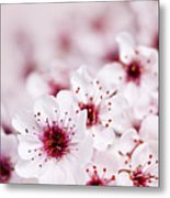 Cherry Blossoms Metal Print by Elena Elisseeva