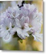 Cherry Blossoms Metal Print by Frank Tschakert