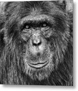 Chimpanzee Portrait 1 Metal Print by Richard Matthews