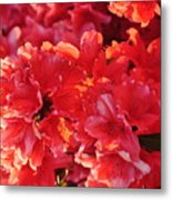 Coral Pink Azaleas Metal Print by Jan Amiss Photography