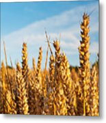 Corn Blowing In The Wind Metal Print by Chris Smith
