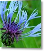 Cornflower Centaurea Montana Metal Print by Diane Greco-Lesser