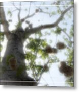 Cotton Ball Tree Metal Print by Douglas Barnard