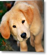 Curious Golden Retriever Pup Metal Print by Christina Rollo