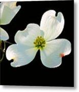 Dogwood Blossoms Metal Print by Kristin Elmquist