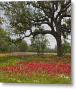 Drummonds Phlox Meadow Near Leming Texas Metal Print by Tim Fitzharris
