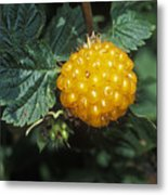Edible Yellow Salmonberry Rubus Metal Print by Rich Reid