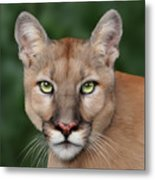 Enya Metal Print by Big Cat Rescue