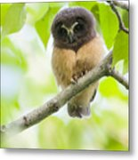 Fledgling Saw-whet Owl Metal Print by Tim Grams