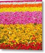 Flower Fields Carlsbad Ca Giant Ranunculus Metal Print by Christine Till