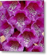 Foxglove Metal Print by Diane E Berry