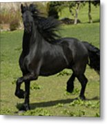 Friesian Horse In Galop Metal Print by Michael Mogensen