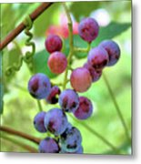 Fruit Of The Vine Metal Print by Kristin Elmquist