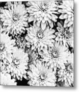 Garden Mums Metal Print by Ryan Kelly
