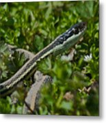 Garter Snake Metal Print by Douglas Barnett