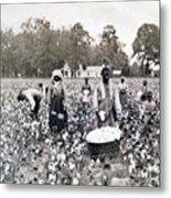 Georgia Cotton Field - C 1898 Metal Print by International  Images