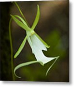 Ghost Orchid  Metal Print by Rich Leighton