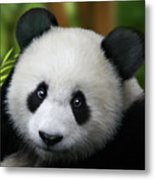 Giant Panda Metal Print by Julie L Hoddinott