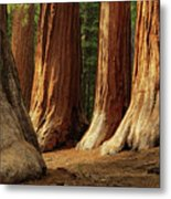 Giant Sequoias, Yosemite National Park Metal Print by Andrew C Mace