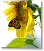 Glowing Monarch On Sunflower Metal Print by Edward Sobuta