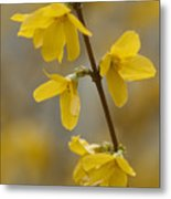 Golden Forsythia Metal Print by Kathy Clark