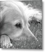 Golden Retriever Dog In The Cool Grass Monochrome Metal Print by Jennie Marie Schell