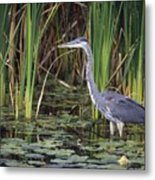 Great Blue Heron Metal Print by Natural Selection David Spier