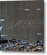 Great Blue Heron Wading 1 Metal Print by Douglas Barnett