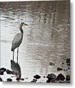 Great Blue Heron Wading 2 Metal Print by Douglas Barnett